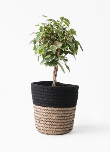 観葉植物 フィカス ベンジャミン 4号 プリンセス Rib Basket (リブバスケット)  Natural and Black 付き