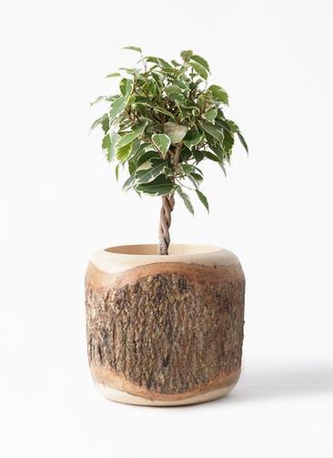 観葉植物 フィカス ベンジャミン 4号 プリンセス Mango Wood(マンゴーウッド) 付き