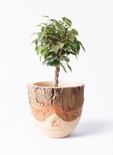 観葉植物 フィカス ベンジャミン 4号 プリンセス Mango Wood(マンゴーウッド) フラワーベース 付き