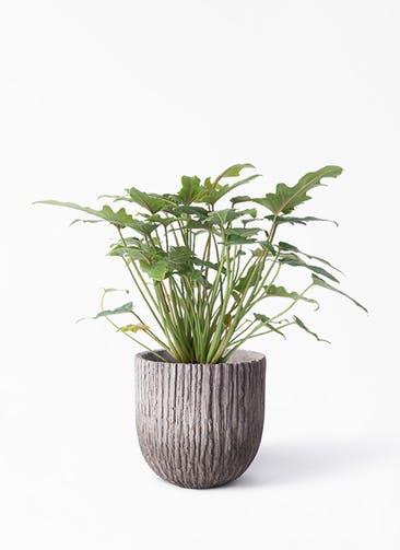 観葉植物 クッカバラ 4号 Cement Pot (セメントポット) 付き