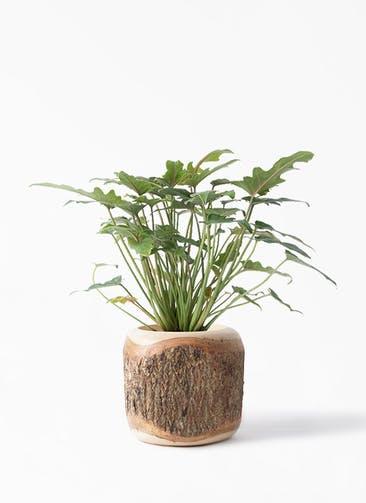 観葉植物 クッカバラ 4号 Mango Wood(マンゴーウッド) 付き