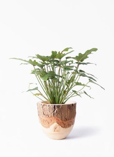 観葉植物 クッカバラ 4号 Mango Wood(マンゴーウッド) フラワーベース 付き