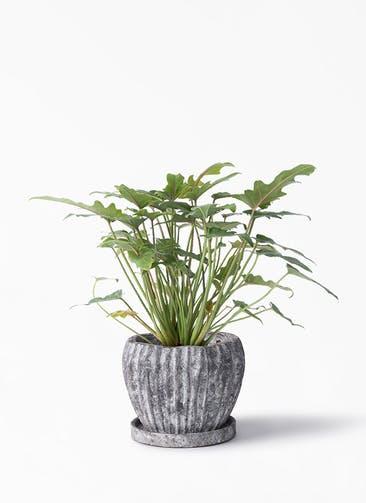 観葉植物 クッカバラ 4号 ムーンリーフS 付き