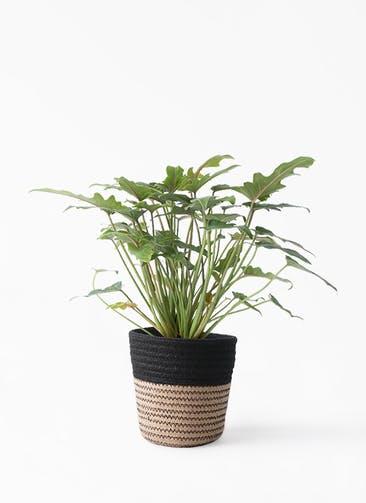 観葉植物 クッカバラ 4号 Rib Basket (リブバスケット)  Natural and Black 付き
