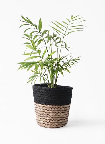 観葉植物 テーブルヤシ 4号 Rib Basket (リブバスケット)  Natural and Black 付き