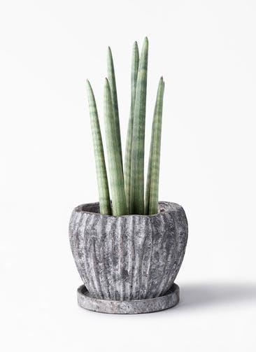 観葉植物 サンスベリア スタッキー 4号 ムーンリーフS 付き