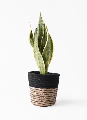 観葉植物 サンスベリア 4号 トラノオ Rib Basket (リブバスケット)  Natural and Black 付き