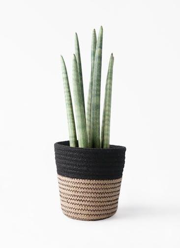 観葉植物 サンスベリア スタッキー 4号 Rib Basket (リブバスケット)  Natural and Black 付き