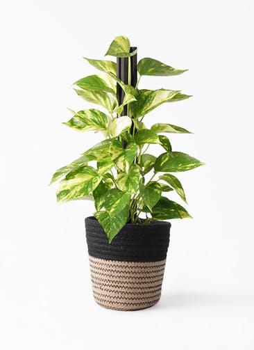 観葉植物 ポトス 4号 Rib Basket (リブバスケット)  Natural and Black 付き