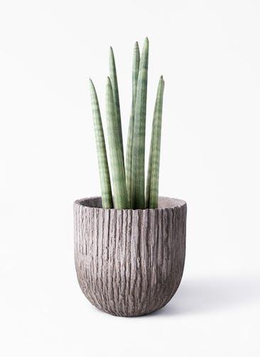 観葉植物 サンスベリア スタッキー 4号 Cement Pot (セメントポット) 付き