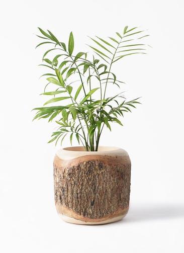 観葉植物 テーブルヤシ 4号 Mango Wood(マンゴーウッド) 付き