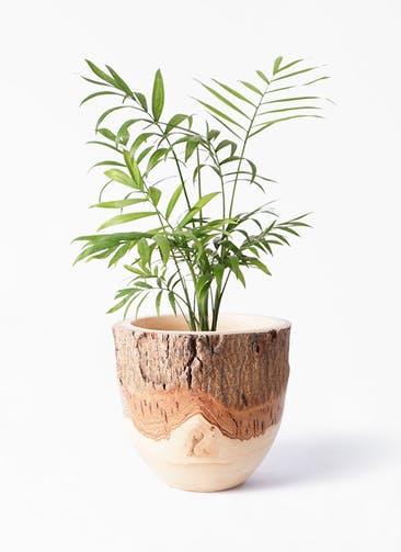観葉植物 テーブルヤシ 4号 Mango Wood(マンゴーウッド) フラワーベース 付き