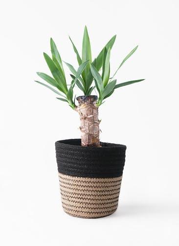 観葉植物 ユッカ 4号 ノーマル Rib Basket (リブバスケット)  Natural and Black 付き