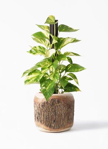 観葉植物 ポトス 4号 Mango Wood(マンゴーウッド) 付き