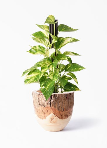 観葉植物 ポトス 4号 Mango Wood(マンゴーウッド) フラワーベース 付き