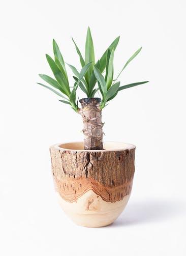 観葉植物 ユッカ 4号 ノーマル Mango Wood(マンゴーウッド) フラワーベース 付き