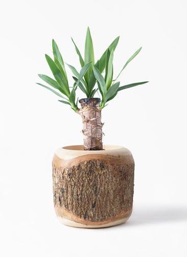 観葉植物 ユッカ 4号 ノーマル Mango Wood(マンゴーウッド) 付き
