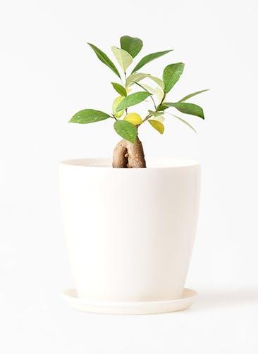 観葉植物 ガジュマル 3号 股仕立て ラスターポット 付き