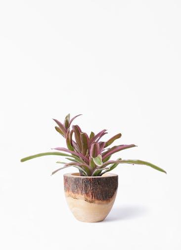 観葉植物 ネオレゲリア 3号 Mango Wood(マンゴーウッド) フラワーベース 付き