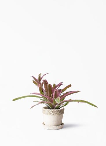 観葉植物 ネオレゲリア 3号 リト ラウンド 受け皿付き