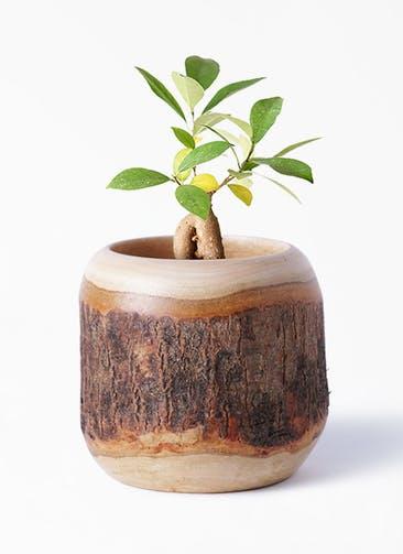 観葉植物 ガジュマル 3号 股仕立て Mango Wood(マンゴーウッド) 付き