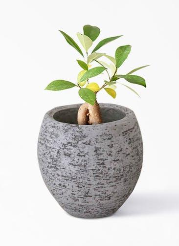 観葉植物 ガジュマル 3号 股仕立て  Eco Stone(エコストーン) Gray 付き