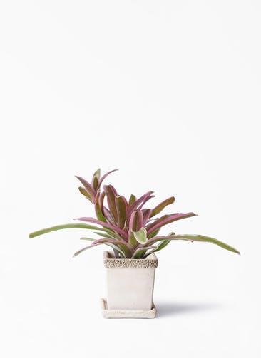 観葉植物 ネオレゲリア 3号 リト キューブ 受け皿付き