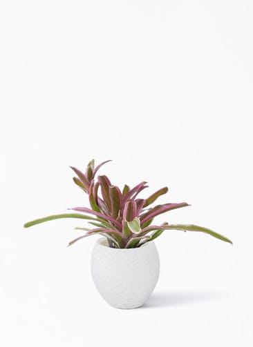 観葉植物 ネオレゲリア 3号  Eco Stone(エコストーン) White 付き