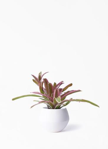 観葉植物 ネオレゲリア 3号 Color Crack(カラークラック) 付き