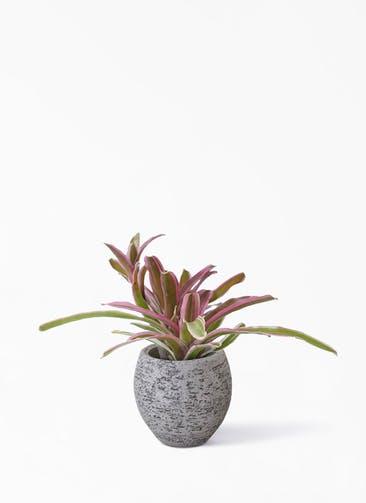 観葉植物 ネオレゲリア 3号  Eco Stone(エコストーン) Gray 付き