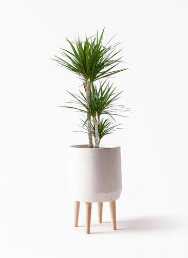観葉植物 ドラセナ コンシンネ 7号 寄せ FiberCray(ファイバークレイ) white 付き
