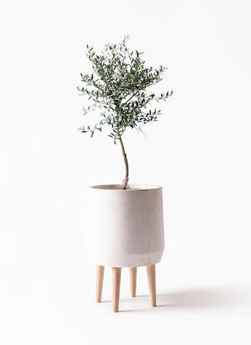 観葉植物 オリーブの木 7号 創樹 FiberCray(ファイバークレイ) white 付き