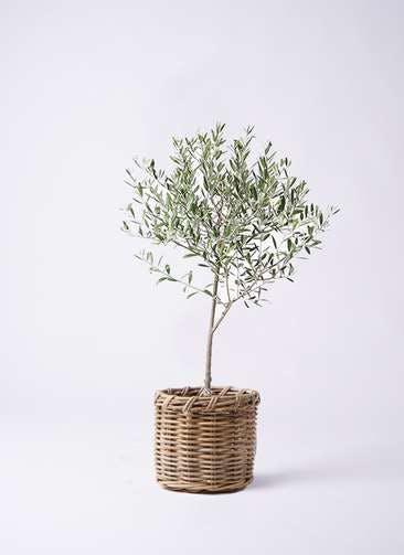 観葉植物 オリーブの木 6号 創樹 グレイラタン 付き