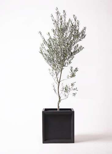 観葉植物 オリーブの木 10号 創樹 ブリティッシュキューブ 付き