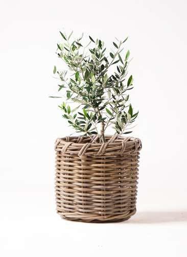 観葉植物 オリーブの木 6号 コロネイキ グレイラタン 付き
