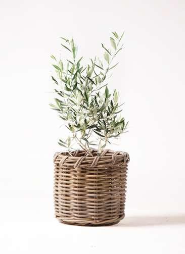 観葉植物 オリーブの木 6号 チプレッシーノ グレイラタン 付き