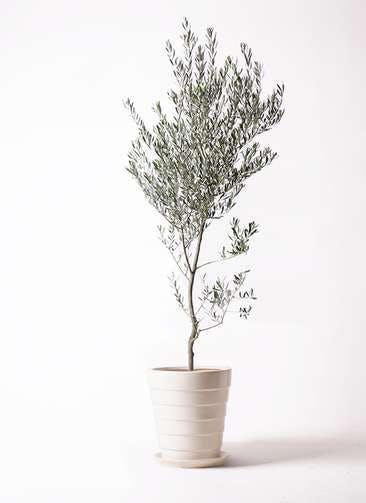 観葉植物 オリーブの木 10号 創樹 サバトリア 白 付き