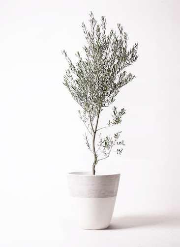 観葉植物 オリーブの木 10号 創樹 ジュピター 白 付き