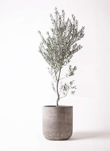 観葉植物 オリーブの木 10号 創樹 エルバ 白 付き