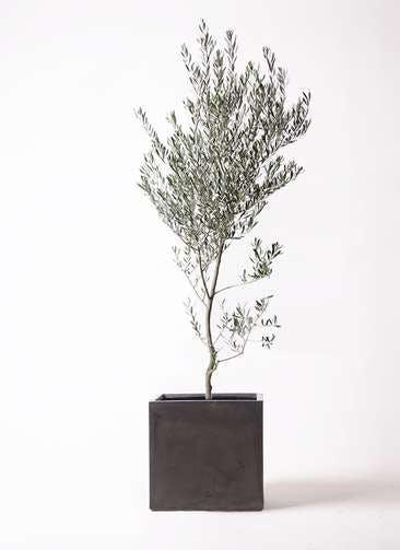 観葉植物 オリーブの木 10号 創樹 ファイバークレイ キューブ 付き