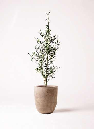観葉植物 オリーブの木 8号 コロネイキ ルーガ アンティコ アルトエッグ 付き