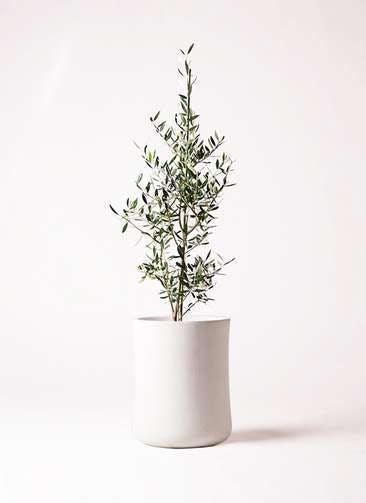 観葉植物 オリーブの木 8号 コロネイキ バスク ミドル ホワイト 付き
