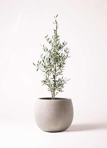 観葉植物 オリーブの木 8号 コロネイキ テラニアス ローバルーン アンティークホワイト 付き