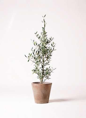 観葉植物 オリーブの木 8号 コロネイキ ルーガ アンティコ ソリッド 付き