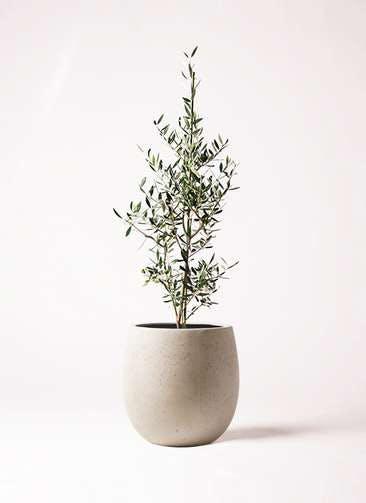 観葉植物 オリーブの木 8号 コロネイキ テラニアス バルーン アンティークホワイト 付き