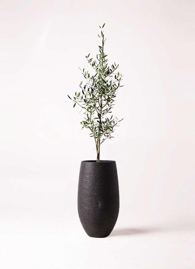 観葉植物 オリーブの木 8号 コロネイキ フォンティーヌトール 黒 付き