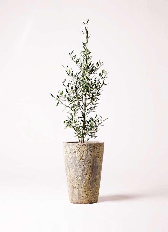 観葉植物 オリーブの木 8号 コロネイキ アトランティス クルーシブル 付き