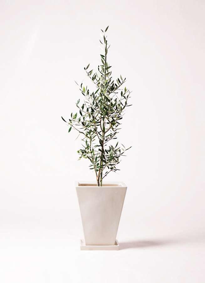 観葉植物 オリーブの木 8号 コロネイキ スクエアハット 白 付き