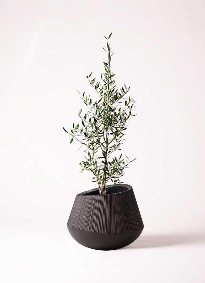 観葉植物 オリーブの木 8号 コロネイキ エディラウンド 黒 付き