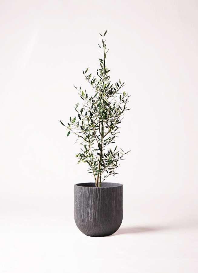 観葉植物 オリーブの木 8号 コロネイキ カルディナダークグレイ 付き